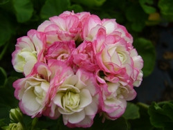 P BIO-Pflanze Rosenknospen-Pelargonie Appleblossom