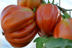 BIO-Pflanze Tomate Ochsenherz-Canestrino