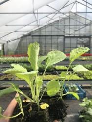 BIO-Jungpflanzen Butterkohl 4er Pack