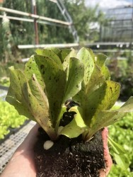 BIO-Jungpflanzen Sommerforellenschluss  De Russia  6 Stück