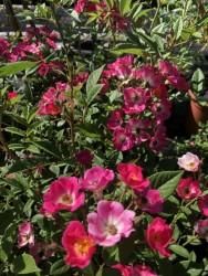 BIO-Rose Mozart - Bienenfreund