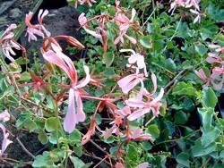 P Saueramfer Pelargonie BIO-Pflanze Rarität