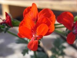 P Pelargonium fulgidum BIO-Pflanze Rarität