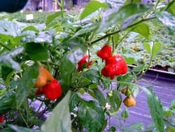 C BIO-Pflanze Chili mittelscharf Tulpenpaprika