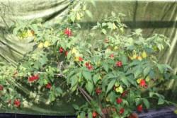 BIO-Pflanze Chili mittelscharf Tulpenpaprika
