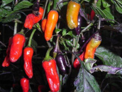 C BIO-Pflanze Chili scharf   Bolivian Rainbow hängend