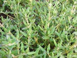 H1 BIO-Kräuterpflanze Thymian Deutscher
