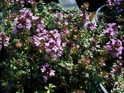 H4/6 Thymian Kümmelthymian BIO-Kräuter-Pflanze
