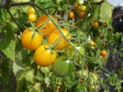 BIO-Samen Tomate Kirsch- Gelbe Kirsche