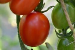 BIO-Pflanze Kirsch-Tomate Celsior Alte Tomatensorte