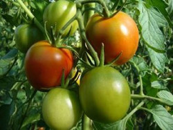 Tomate rund mittelgroß 'Veni, Vidi, Vici'