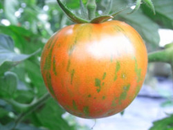 BIO-Samen Tomate rund normal- Rotes Zebra