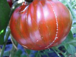 BIO-Samen Tomate Fleisch- Black & Red Boar