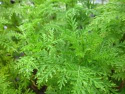 FL1 Räucher-Beifuß BIO-Kräuter-Pflanze