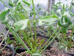 H4 Winterharter Meerfenchel BIO-Gemüsepflanze