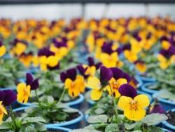 BIO-Blumen Hornveilchen Bunte Mischung 8 Stück