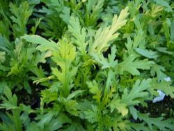H1 Shungi-Ku 春菊 Japanische Speise-Chrysantheme Bio-Pflanze