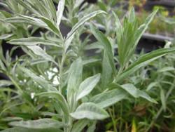 F1 Steppenwermuth BIO Heilkräuter-Pflanze