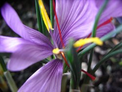 H4 Safran BIO-Pflanze