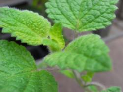 BIO-Kräuterpflanze Orangenmelisse