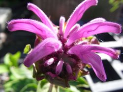 Bio-Kräuter-Pflanze Rosenmelisse