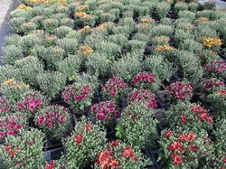 F3 BIO-Blumen Garten-Chrysantheme lila