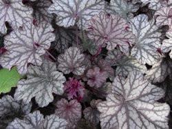 BIO-Blumen Purpurglöckchen Blackberry Jam