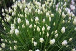 H6 Schnittlauch Corsican White BIO-Kräuterpflanze
