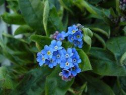 H8 BIO-Blumen Vergißmeinnicht