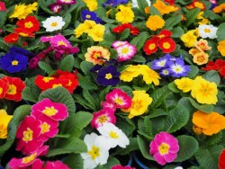 BIO-Blumen Primel Bunte Mischung 8 Stück