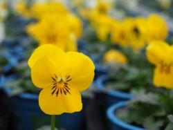 BIO-Blumen Hornveilchen Gelbtöne 8 Stück