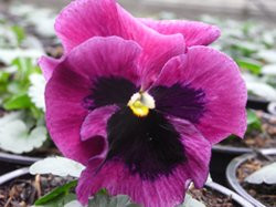 H9 BIO-Blumen Stiefmütterchen rosa  8 Stück