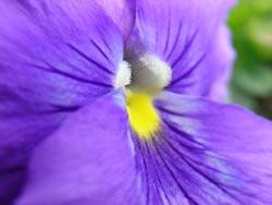 H9 BIO-Blumen Stiefmütterchen blau   8 Stück