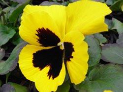 H9 BIO-Blumen Stiefmütterchen gelb   8 Stück