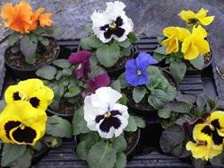 H9 BIO-Blumen Stiefmütterchen Bunte Mischung   8 Stück