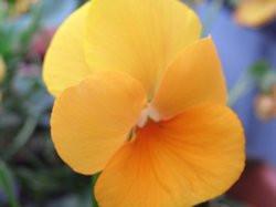 H9 BIO-Blumen Stiefmütterchen orange   8 Stück