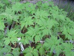 F1 Süßdolde BIO Heilkräuter-Pflanze