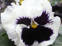 BIO-Blumen Stiefmütterchen weiß   8 Stück
