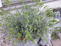 BIO-Topfkräuter-Pflanze Griechischer Bergtee
