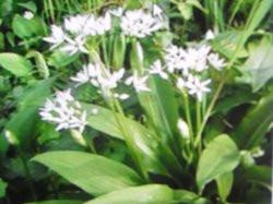 H6 Bärlauch BIO-Kräuter-Pflanze