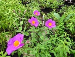 H4 Cistus Tee-Zistrose BIO-Kräuterpflanze