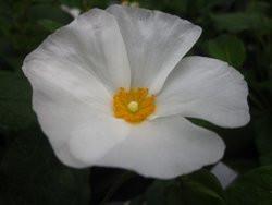 BIO-Pflanze Cistus Salbeiblatt Zistrose weiß