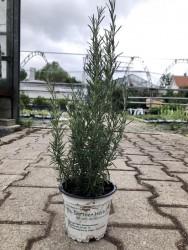 H10 Rosmarin Miss Jesopp (Pyramidalis) BIO-Topfkräuter-Pflanze