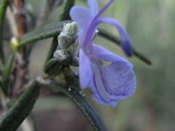 H10 Rosmarin Blaulippe BIO-Topfkräuter-Pflanze