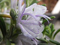 H10 Rosmarin Bozen BIO-Topfkräuter-Pflanze