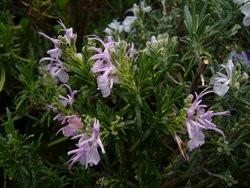H10 Rosmarin Florenz Rosa BIO-Topfkräuter-Pflanze