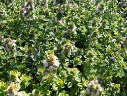 H8 Zitronenthymian Gelbbunt BIO-Kräuter-Pflanze