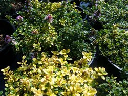 H8 Zitronenthymian Doone Valley BIO-Kräuter-Pflanze