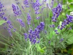 H4 Echter Lavendel Hidcote Blue BIO-Kräuterpflanze