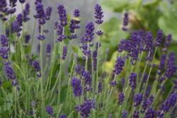 H4/6 Lavendel echter- Aroma Blau Bio-Topfkräuter